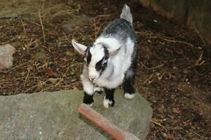 Pygmy Goats SOLD