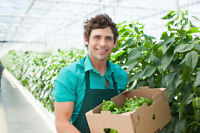 Produce Workers Needed in Leamington