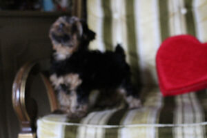 Champion Sired CKC reg  Yorkshire Terriers Kitchener / Waterloo Kitchener Area image 5