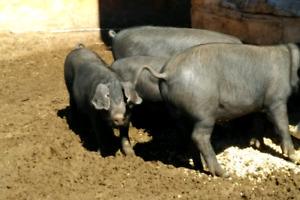Purebred heritage breed pigs