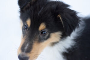 Sweet rough collie puppies for sale