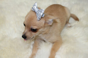 Only 1 Left!! Adorable Chihuahua X Pomeranian Puppies