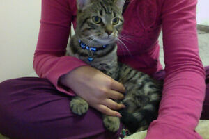 8 MONTH OLD MALE TABBY