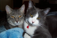 2 BEAUTIFUL FEMALE SPAYED CATS TO GIVE AWAY TO A GOOD HOME