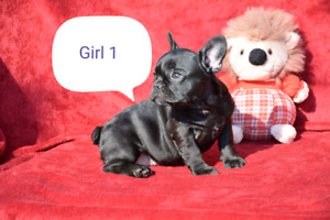 French bulldog boys and girls