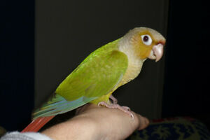 ❤️⭐❤️Handfed⭐Conures Available with Cage❤️⭐❤️