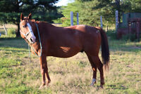 Trail Horse For Sale - QH GELDING