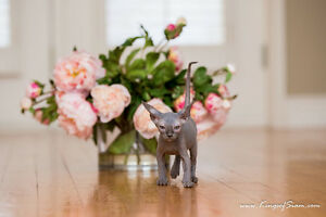 Sphynx kittens- hairless cats/kittens