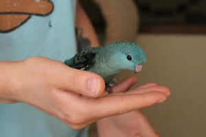 HAND FED & HAND TAME LINNIE BABIES TURQUOISE AND COLBALT BLUE