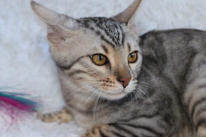 Bengal kitten, silver male, Coco