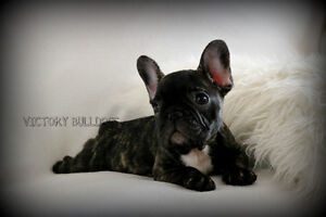 Top Quality CKC Reg'd French and English Bulldog Puppies