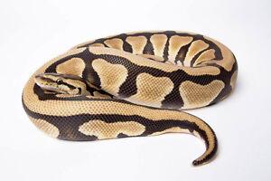 Selling Desert Ball Python to Good Home