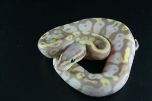 Available Ball Pythons