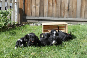 Swissmountain X Poodle Puppies