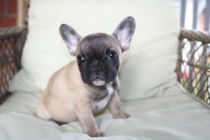 Fawn French bulldog puppy girl for sale