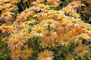Chrysanthemum rubellum Mary Stoker pot 1 litre - France - État : Neuf: Objet neuf et intact, n'ayant jamais servi, non ouvert, vendu dans son emballage d'origine (lorsqu'il y en a un). L'emballage doit tre le mme que celui de l'objet vendu en magasin, sauf si l'objet a été emballé par le fabricant d - France
