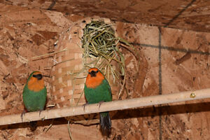 Young parrot finches for sale