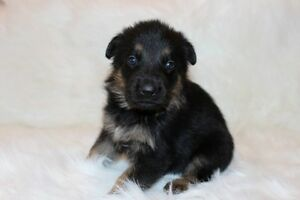 CKC Registered German Shepherd Puppies for Sale