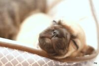 STUNNING FRENCH BULLDOG/BUG PUPPIES!! AVAILABLE SOON!