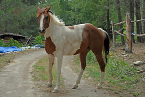 Stunning Paint Mare for sale!