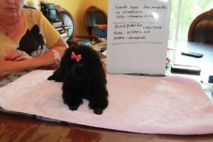 caniche chiot toy enr. toy poodle registred