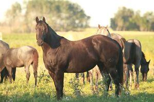 Foundation Quarter Horses Regina Regina Area image 7