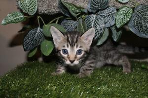 bengal kitten one left