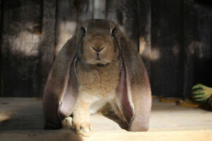 English Lop Babies for Sale Stratford Kitchener Area image 6
