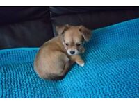 Two Chihuahua Puppies for Sale