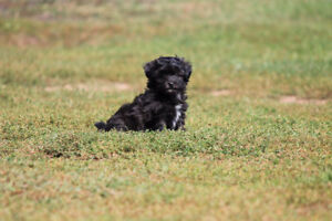 Adorable Shih Poo puppies
