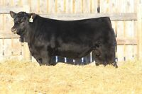 YEARLING ANGUS BULLS - Ravenworth Cattle