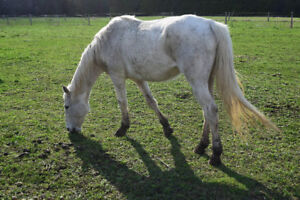 14 year old Appendix mare