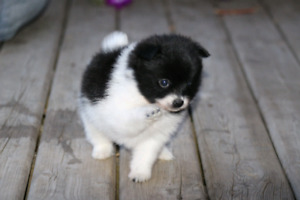 Sweet Pomaranian Pup! Delivery available to Red Deer on Sep. 7th