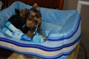 Beautifull yorkies puppys* Superbes chiots yorkshire SOLD Thanks