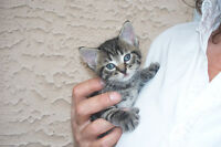 """""""POLYDACTYL""""  LIL TABBY KITTEN WITH HUGE MITTEN PAWS"""