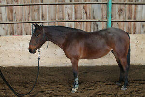 10 year old Well-Trained Mare
