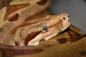 Hypo Jungle Boa Constrictor Price Reduced