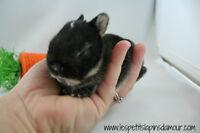 Élevage familial de lapins nains néerlandais (les + petits)