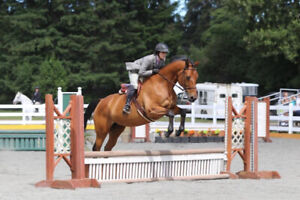Lovely Trakehner mare for partial lease