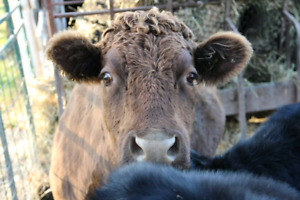 Registered Dun Dexter cow with AI sired heifer calf