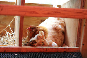 Oeufs fécondés pré-incubés pour poules couveuses pressées