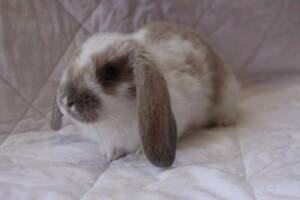 Beautiful Baby Mini Lop Bunny Rabbits Pakenham Cardinia Area Preview