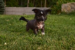 Rare Chinese Crested Hairless Puppy