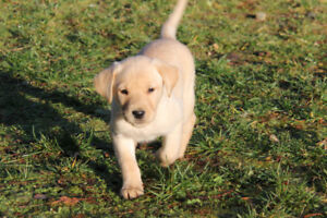 Purebred, CKC registered Labrador retriever puppies
