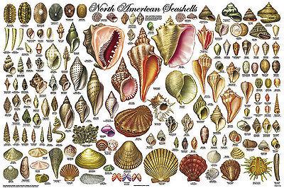 North American Seashells Educational Science Classroom Chart Poster 24X36
