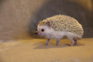Male Hedgehog (accessories included)
