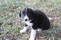Border collie Male Pup