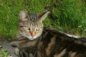 Lost DSH Brown Tabby