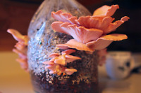 Learn how to grow Gourmet and Medicinal mushrooms at home!