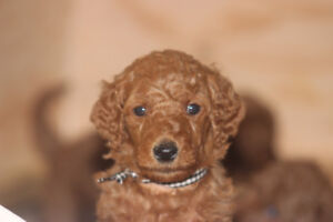 Red Standard poodles puppies CKC registered